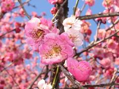 Plum blossoms # 2 (Melanie-m) Tags: japan  saitama japon  plumtrees