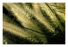pampas (G r e n) Tags: arizona nikon d70 havingfun gren ilikegrass bettyschlueter bettyschlueter