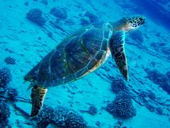 #121 honu = Hawaiian green sea turtle (ハワイアオウミガメ) (Nemo's great uncle) Tags: sea green turtle scuba diving hawai'i ハワイ hawaiian hi honu cheloniamydas chelonia mydas ハワイアオウミガメ hawaiiangreenseaturtle tortueverte suppenschildkröte 青海亀 suppenschildkrote