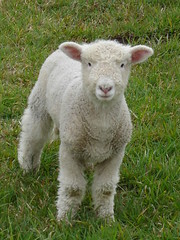 Portrait of Bliss (EssjayNZ) Tags: 2005 newzealand white cute green wool grass topv111 1025fav 100v prime topv333 500v20f sheep lovely1 fv5 10f friendly lamb wooly baa essjaynz woolly taken2005 999v9f top20f2005 20faves interestingness53 i500 sarahmacmillan