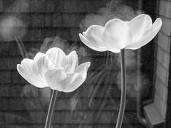 tulips (Nancy.) Tags: flowers wallpaper blackandwhite bw favorite berkeley topv333 tulips ghost tulip wallpapers