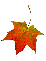 Red leaf (digikuva) Tags: autumn red topv111 finland ilovenature leaf oneleaf helsinki rojo europe heiluht topv222 mable 13000 wasmyleastinteresting