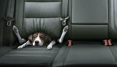 Driving too fast? (FreeQ) Tags: dog car animal driving emailed seat freeq