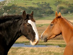 big black horse with lady friend (glenfinlas) Tags: horse islay scotland