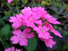 (Mr. Greenjeans) Tags: flower macro green nature closeup catchycolors garden ilovenature magenta urbannature roxio mrgreenjeans flowerhearts gaylon gaylonkeeling