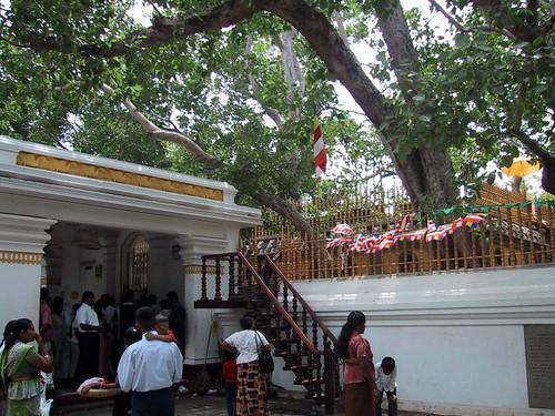 Árbol de Bodhi (Sri Maha Bodhi)