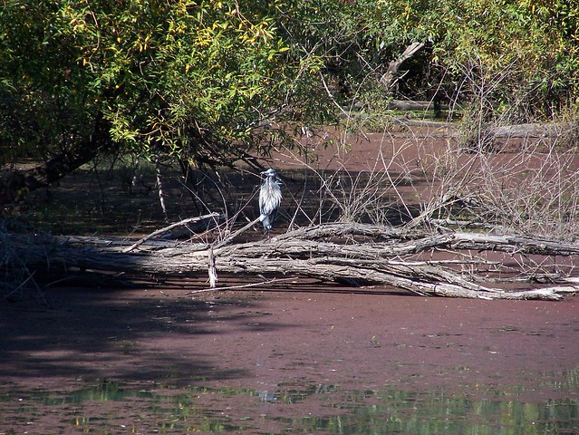 More Heron on Log Action