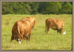 Cows Eat Grass - Birds Eat Insects (Old Shoe Woman) Tags: usa georgia southgeorgia dilosep05 cows cowbirds photoshop pasture rural cecil dilosept05