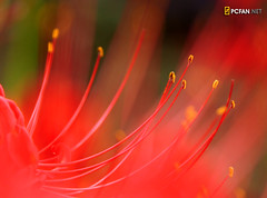 A Dream in Red (DigiPub) Tags: red macro closeup ilovenature explore spiderlily