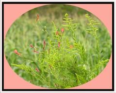 Wild Flowers (Old Shoe Woman) Tags: usa georgia southgeorgia dilosep05 floweringvine cornfield photoshop dilosept05