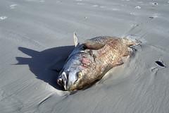 dead_fish.jpg