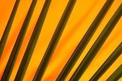 Palm (Thomas Hawk) Tags: sanfrancisco california city orange usa plant black unitedstates 10 stripes unitedstatesofamerica palm fav10