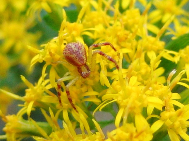 Spider in the Goldenrod