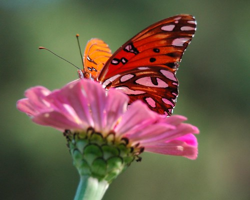 """Hollar Garden""... butterfly on zinnia"