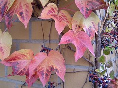 Wein (Gertrud K.) Tags: red leaves yellow vitaceae parthenocissus