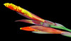 Canna Emergence (Jeff Clow) Tags: macro closeup 1025fav wow catchycolors wonder ilovenature bravo topc50 mybackyard weeklysurvivor canna photodotocontest1