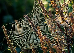 Web design in Spider City (algo) Tags: city backlight ilovenature photography dawn spider topf50 bravo spiders topv1111 topv999 gossamer 4autumn webs p1f1 generouscomments