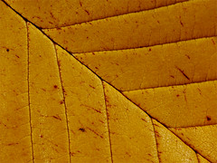 Autumn leaf (Rune T) Tags: autumn brown macro fall texture lines yellow composition catchycolors leaf ccmpyellow