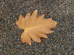Leaf (.ღ♫°Qanas°♫ღ.) Tags: wow leaf fall oct2005 2005 autumn interestingness interestingness10