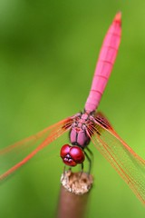 Legally Pink (Ya Ya) Tags: pink green wow catchycolors 350d singapore dragonfly bokeh tamron90mm tccomp027 naturecallsgallery