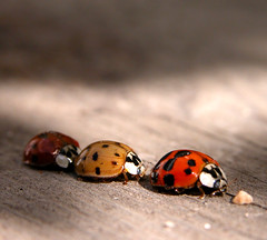 ...Ladybird Traffic Jam... (Random Images from The Heartland) Tags: c