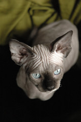 Nora cutout (Vina the Great) Tags: cat sphynx happyhairlessfriday nora elnora cutout photoshop otherwise olblueyes
