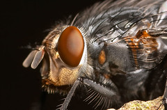 fly closeup (Lord V) Tags: macro wow bug insect fly bravo accepted1of100 norules onetopfave multiinvited
