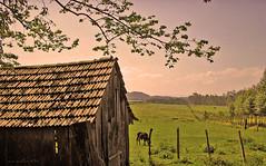 12-10-2005 (corbata1982) Tags: ranch old tree field brasil rural landscape cow casa farm ps velha filter campo stio rs rvore vaca fazenda corbata1982 valeverde cocheira expocorbata