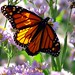Monarch Butterfly - by Creativity+ Timothy K Hamilton
