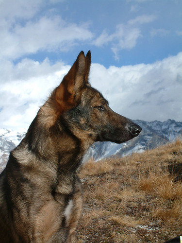 Puppy Lasker Lupo Cane