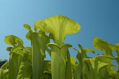 Carnivorous Pitcher Plants (hangglide) Tags: pitcher plant sandhills national wildlife reserve nature carnivorous sarracenia deleteme10