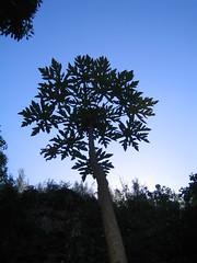 kauai_2005_341 (seannarae) Tags: kauai hawaii adventure october 2005 day07 northshore haenastatepark guava