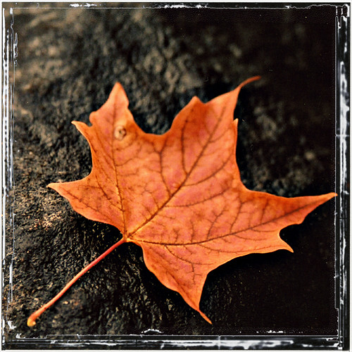 Maple Leaf by HighwayGirl67