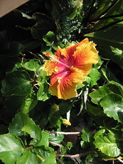 hibiscus (AlohaTiki) Tags: sanfranciscoconservatoryofflowers