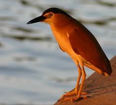 Nankeen or Rufous Night Heron - by iansand
