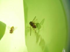 Flickering flies (q8) Tags: macro green bowl blur sharp fly saveme deleteme saveme2 deleteme2 deleteme3 deleteme4 deleteme5 deleteme6 deleteme7 deleteme8 deleteme9 deleteme10 saveme3