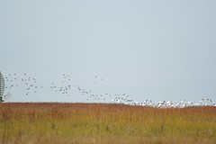 IMG_5999.jpg (wildorcaimages) Tags: snowgeese birds