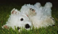 Am I cute, or what! (westietess) Tags: 5bestdogs westhighlandterrier westies cmcaug06