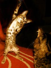 Cat performer