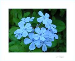 Blue Wednesday ( Graa Vargas ) Tags: 2005 blue  flower topv111 wonder all rights vargas plumbago reserved graa interestingness95 i500 graavargas vaiencarar 131231161110 2005graavargasallrightsreserved