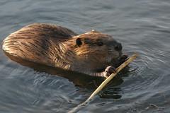 Beaver photo (c) S Phipps