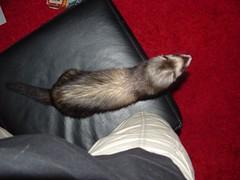 t, vou embora... (o que os olhos vem) Tags: ferrets preta
