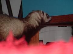 hmmm, caixinha :D (o que os olhos vem) Tags: ferrets preta