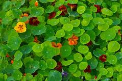 Nasturtium Field (ken mccown) Tags: saveme5 deleteme10 weeklysurvivor nasturtium huntingtongarden