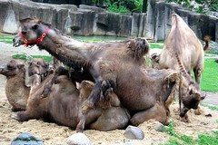 camel threesome (Squid!) Tags: milwaukeezoo summer camels sex threesome mating humping 2005