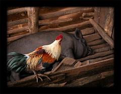 The rooster & the pig (Yorick...) Tags: lahu thailand travel wonder yorick colors chiangrai chiangmai asian asia animals topv111 pig topf25 wow topf50 topv333