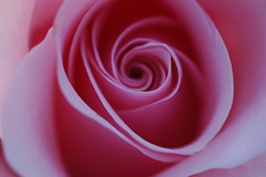 A Pink Rose (**Mary**) Tags: pink flower macro rose wow wonder ilovenature petals explore top20macroshots top20flowershots top20naturephotos faveflower ccmppink ccmpclosencounter