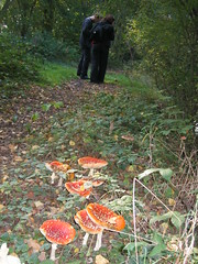 Fly Agaric (skitster) Tags: fly agaric mushrooms buckinghamshire flyagaric aminita