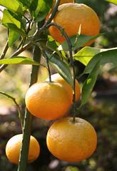 Mandarin oranges at my garden