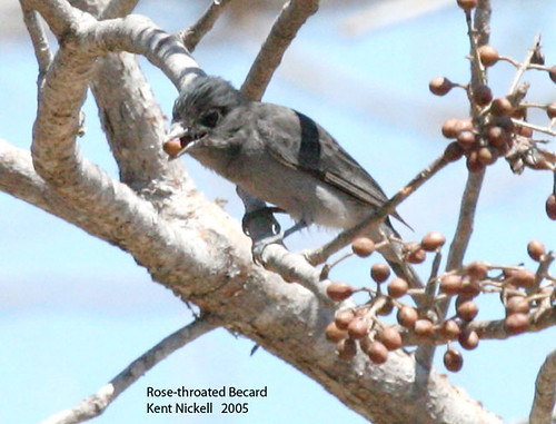 Rose-throated Becard (Pachyramphus aglaiae)